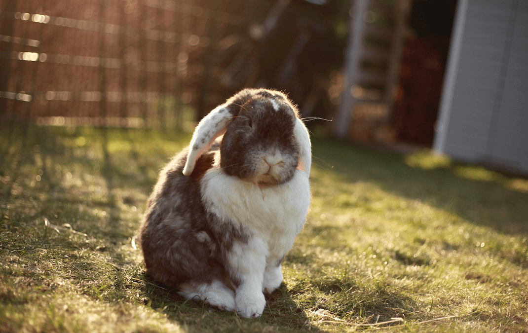 Why Microchip Your Rabbit?